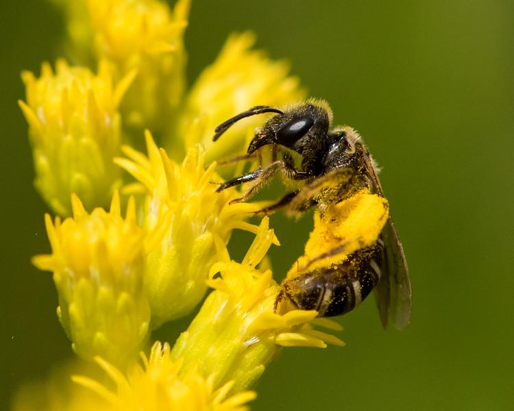 7-6-16 Bee on Solidago - Flint Property-1752
