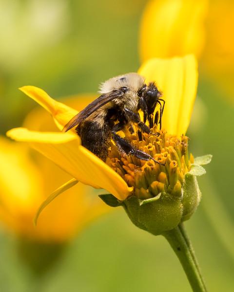 7-6-16 Bumble Bee on Helianthum - Flint Property-1853