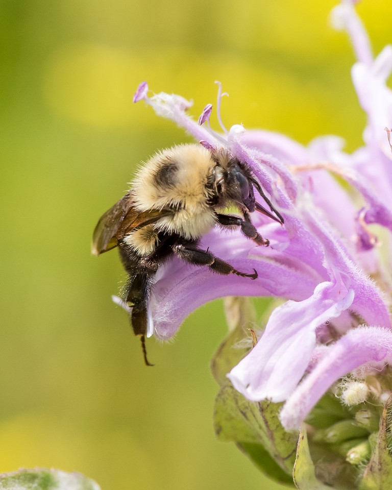 7-6-16 Bumble Bee on Monarda - Flint Property-1824