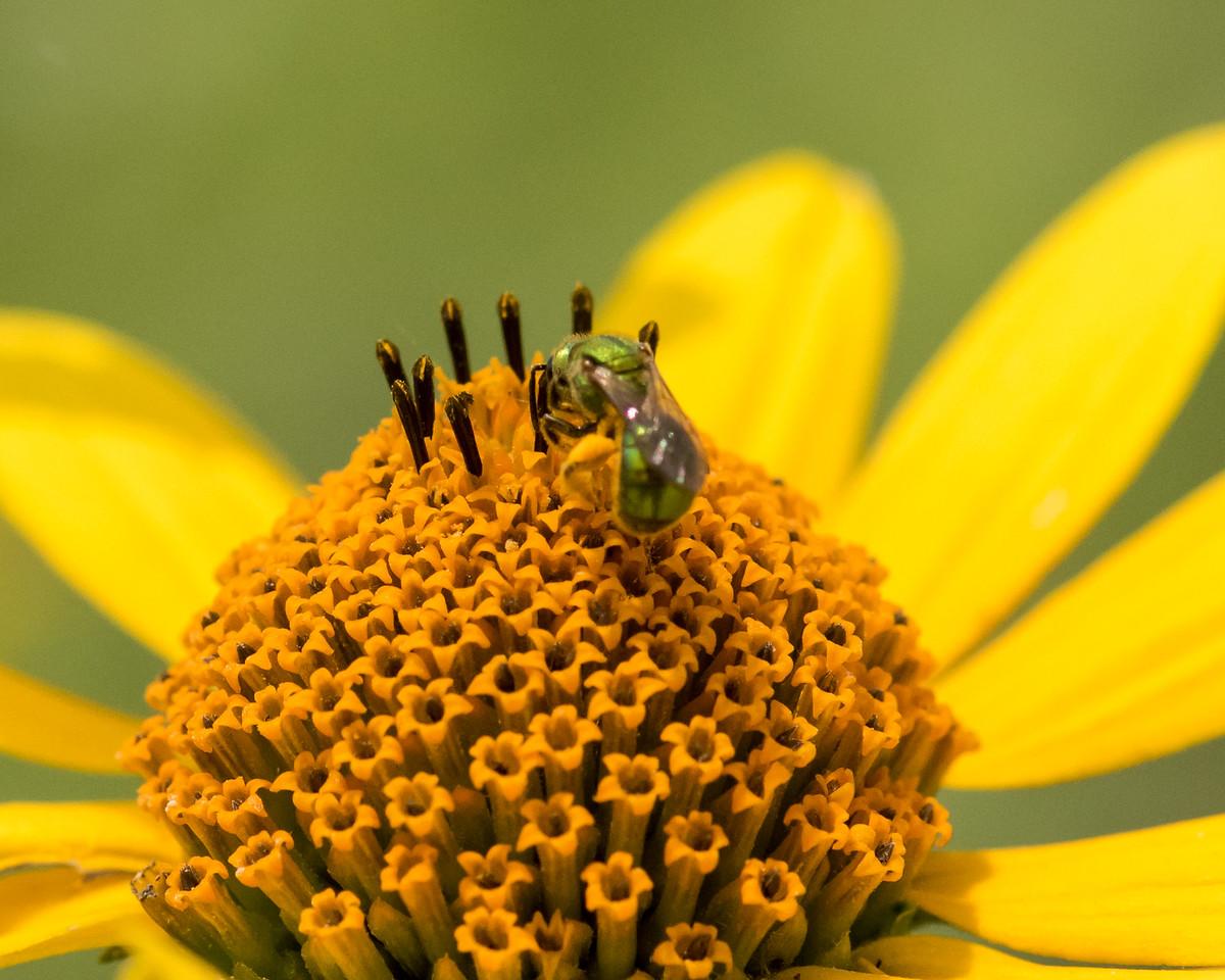 7-6-16 Bee on Helianthus - Flint Property-1792