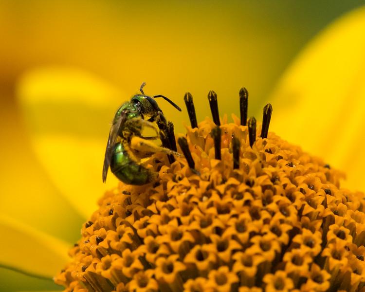 7-6-16 Bee on Helianthus - Flint Property-1797