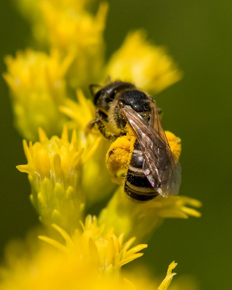7-6-16 Bee on Solidago - Flint Property-1750