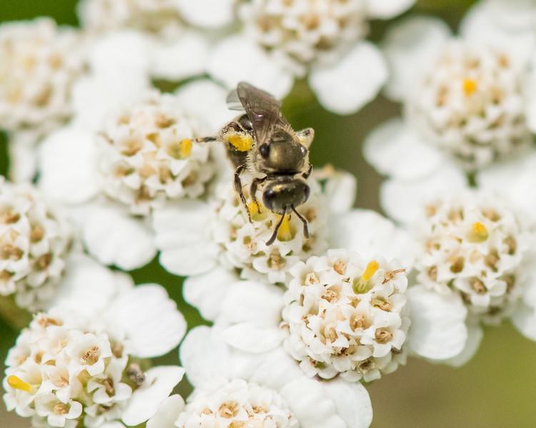 7-6-16 Bee on Yarrow - Flint Property-1759