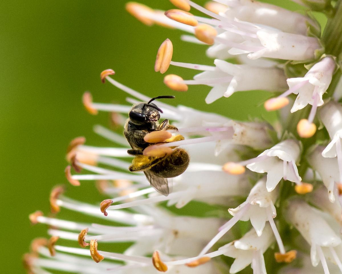 7-6-16 Bee on Veronicastrum - Flint Property-1848