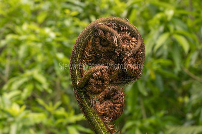 Nz Native fern frond opening up