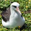Laysan Albatross (Moli)