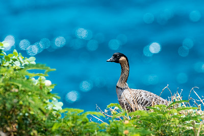 Tropical goose
