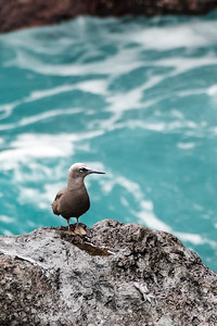 Black Noddy posing