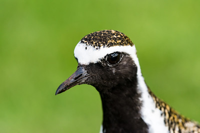 Old man plover