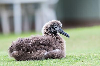 Laysan Albatross chick
