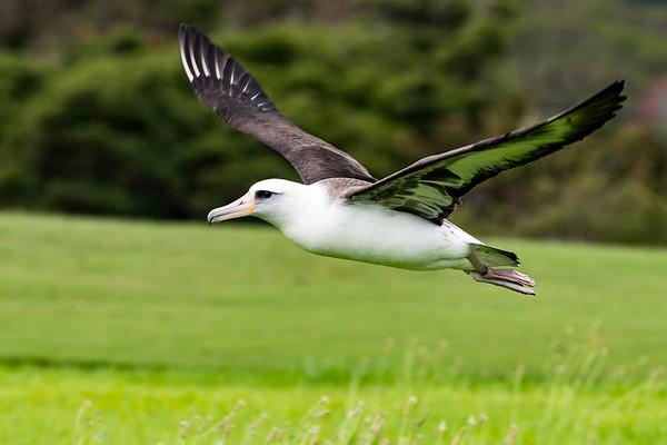 Laysan Albatross P306