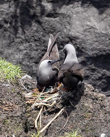 Black Noddy pair on their nest