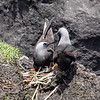 Black Noddy pair on their nest