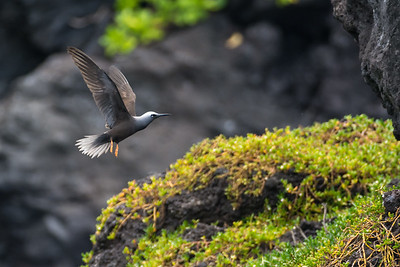 Black Noddy coming in for a landing