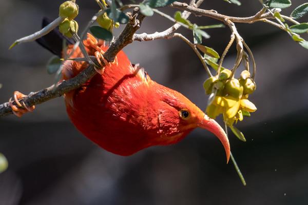 I'iwi feasting on Māmane blossoms at Hosmer's Grove.