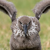 Black-footed Albatross chick