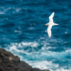 Red-tailed Tropicbird soaring over Mokuaeae Islet
