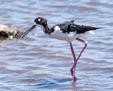 Happy Hawaiian Stilt