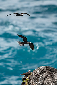Black Noddies in flight