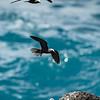 Black Noddies in flight