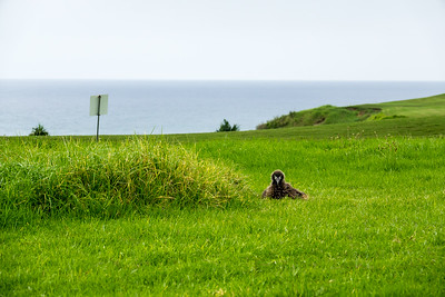 Golf course Laysan Albatross chick