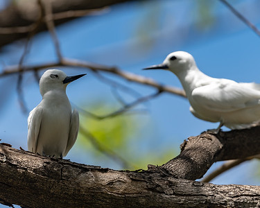 White Tern pair