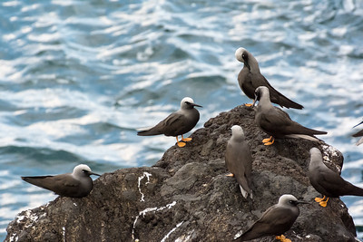 Black Noddy preen club