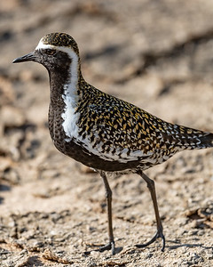 Pacific Golden Plover (kōlea)