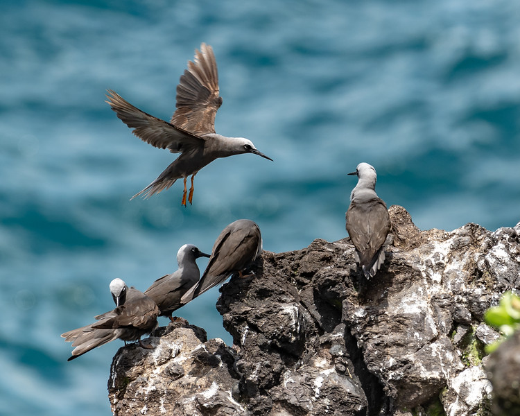 Black Noddy (noio) in flight over its conspecifics