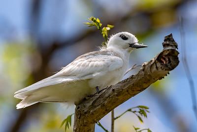 White Tern fledgling