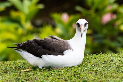 Albatross blob