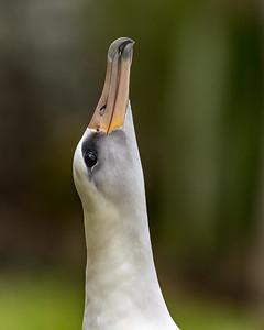 Laysan Albatross sky-mooing