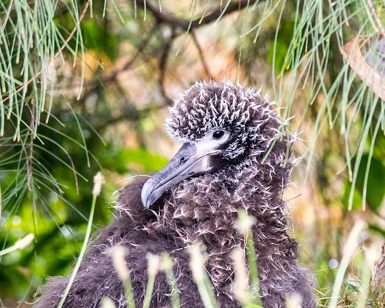 Laysan Albatross chick portrait