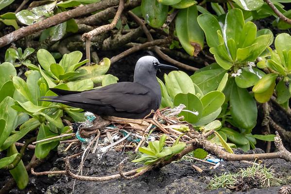 Black Noddy nest