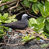 Black Noddy nest