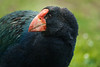 Takahe Close Up