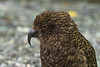 Close Up Of Kea