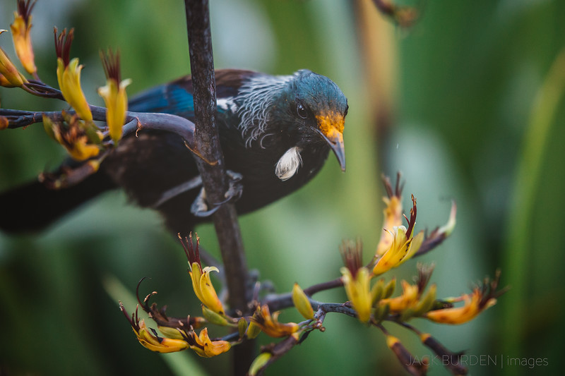 Tui With Pollen On Beak - Image 2