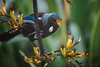 Tui With Pollen On Beak - Image 2