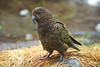 Fiordland Kea