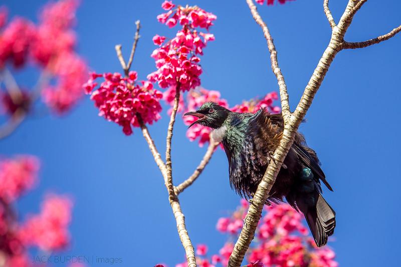 Tui In Cherry Blossom