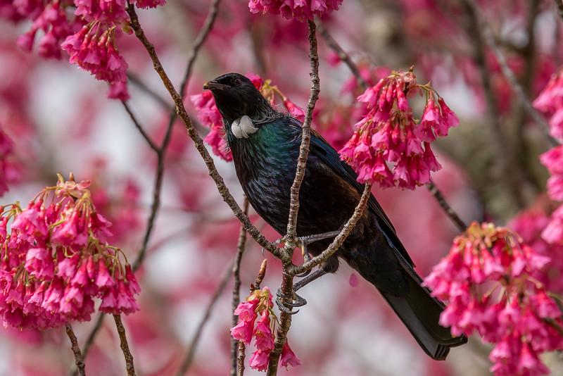 Spring time Tui