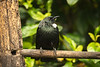 Tui On Perch
