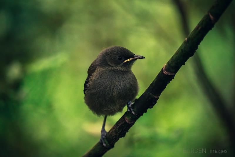 Juvenile Bellbird