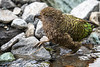 Kea Taking A Drink
