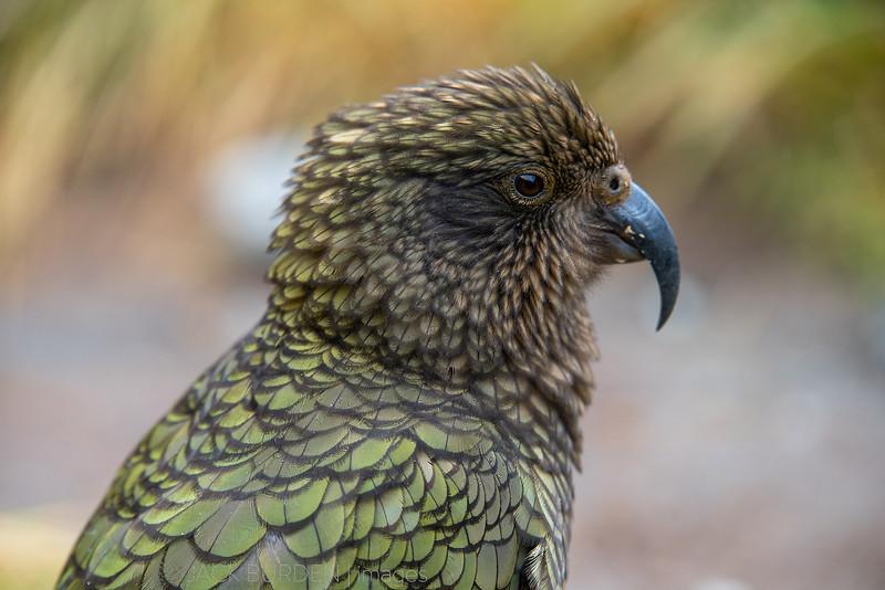 Kea Close Up - Image 2
