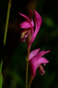 Arethusa bulbosa- Dragon's Mouth