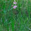 Calopogon tuberosus- Grass Pink Orchid