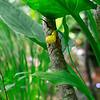 Cypripedium parviflorum var. Makasin- Small Yellow Ladies Slipper