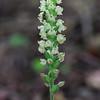 Goodyera pubescens- Rattlesnake Orchid